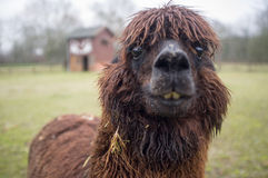 Brown lama looks curiously. Her house barely visible behind, the lama opened her mouth in amazement stock photography
