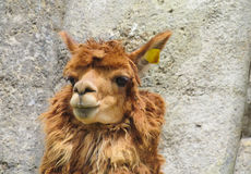 Brown lama portrait. Furry lama royalty free stock photo