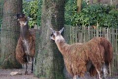 Brown Lama`s. Lama standing on farm. Foto taken in ouwehands zoo in rhenen Royalty Free Stock Images