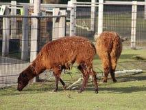 Brown Lama`s. Lama standing on farm. Foto taken in ouwehands zoo in rhenen Royalty Free Stock Photo