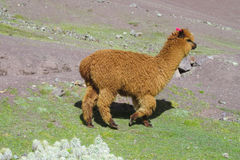 Brown lama walking. The llama, Lama glama domesticated South American camelid animals on the green meadow in the Andes mountain stock photos