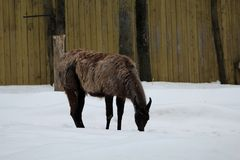 A brown lama in winter landscape. A brown lama who eats snow during a beautiful winter day royalty free stock photography