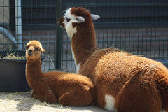 Brown Lama With Young Royalty Free Stock Image