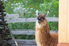Brown lama Stock Photography