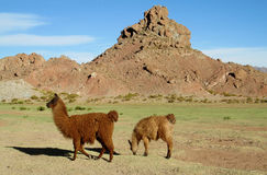 Brown lamas on green meadow stock photography