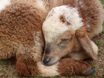 Brown Lamb Royalty Free Stock Photo