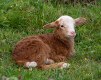 Brown lamb Royalty Free Stock Photography