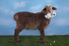 Brown lamb on the meadow on a clear day.  Stock Photography