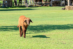 Brown Lamb Walking in Sunshine Day Royalty Free Stock Photography