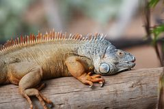 Brown  iguana Royalty Free Stock Photography