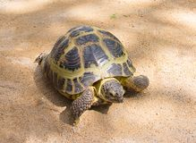 Brown land large turtle crawling on the yellow sand, walking home beloved pet Royalty Free Stock Photography