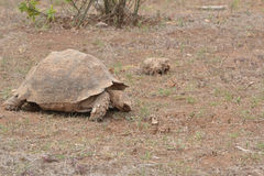 Brown land turtle Stock Photography
