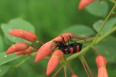 Brown-lang-gehörnter Käfer Lizenzfreies Stockfoto