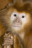 Brown Langur Royalty Free Stock Image
