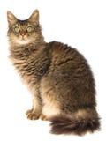 Brown Laperm auf weißem Hintergrund Stockbild