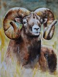 A brown large male ram with steep large horns looks straight ahead. Realistic watercolor painting. Brown range of shades of color. Illustration. Bright stock illustration