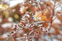 Last autumn flowers freezing under the first winter frost Royalty Free Stock Photo