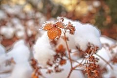 Last autumn flowers freezing under the first winter frost Royalty Free Stock Photos