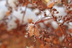 Last autumn flowers freezing under the first winter frost Royalty Free Stock Image