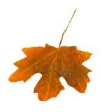 Brown, leaf Royalty Free Stock Image