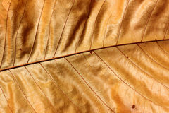 Brown leaf. Texture in thailand Royalty Free Stock Image