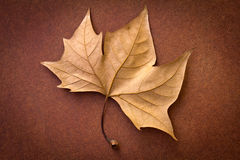 Brown leaf Stock Photography