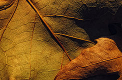 Brown leaf. Brown chesnut leaf from closeup POV Stock Photography