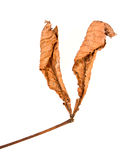 Brown Leaf. Isolated dry leaf turned into its autumn color stock photography
