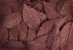 Brown leaf background. Whit watter drops Royalty Free Stock Image