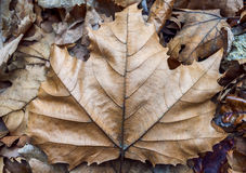 Brown leaf background close up Royalty Free Stock Photos