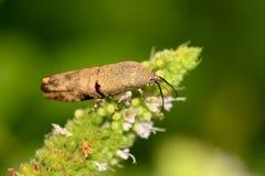 Brown leaf bug. Beautiful closeup shot of brown leaf bug Stock Photo