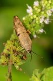 Brown leaf bug. Beautiful closeup shot of brown leaf bug Stock Image