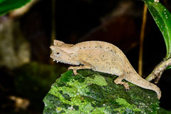 Brown leaf chameleon, andasibe Royalty Free Stock Photos
