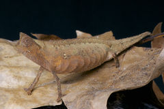 Brown Leaf Chameleon / Brookesia superciliaris Stock Photography