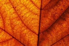 Brown leaf closeup Royalty Free Stock Photo