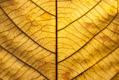 Brown leaf closeup Royalty Free Stock Images