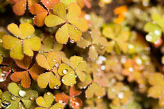 Brown leaf clover. Close-up stock photos
