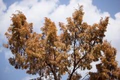 Brown leaf of Die Pine tree Stock Photography