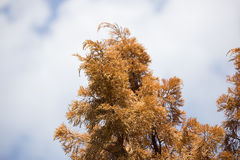 Brown leaf of Die Pine tree Royalty Free Stock Photography
