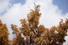 Brown leaf of Die Pine tree Royalty Free Stock Photo