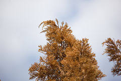 Brown leaf of Die Pine tree Stock Photos