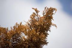 Brown leaf of Die Pine tree Royalty Free Stock Image
