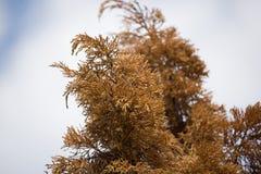 Brown leaf of Die Pine tree Stock Image