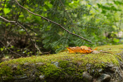 Brown leaf fallen on green moss. Brown leaf fallen on moss with tree branches in the background royalty free stock images