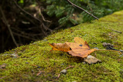Brown leaf fallen on green moss. Brown leaf fallen on moss with tree branches in the background stock photo