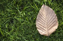 Brown leaf on grass Royalty Free Stock Image