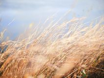 Brown Leaf Grasses Royalty Free Stock Photo