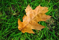 Brown leaf on green grass Royalty Free Stock Image