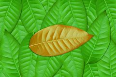 Brown leaf on Green leaves Royalty Free Stock Photo