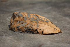 Brown leaf on the ground Royalty Free Stock Photo